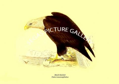 Fine art print of the BALD EAGLE - Falco Leucocephalus by Charles Robert Bree (1859)
